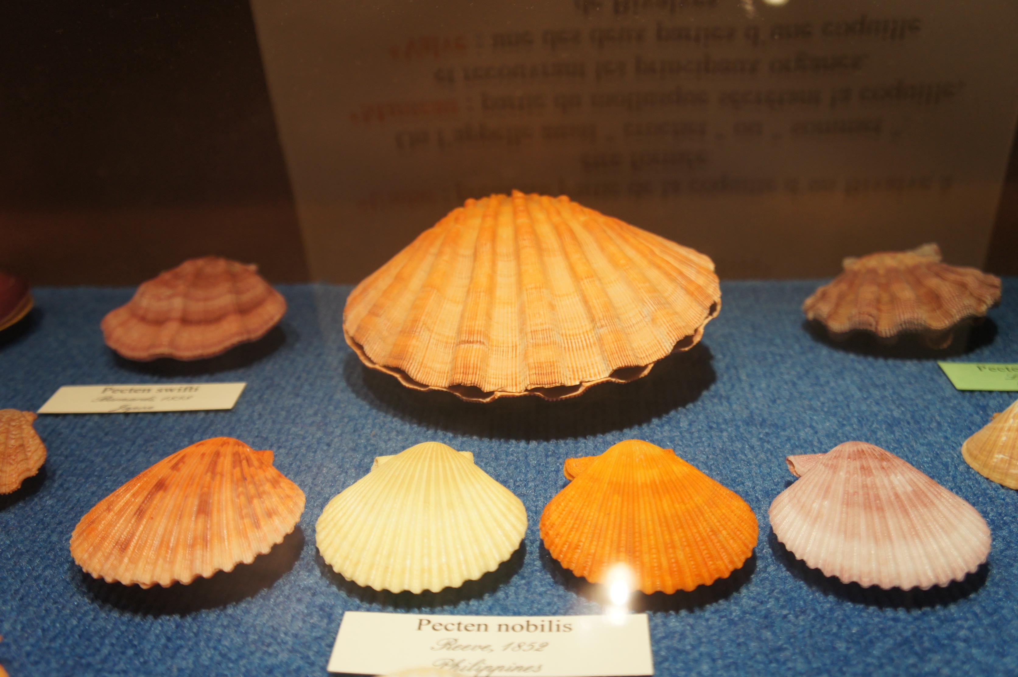 musée coquillage2
