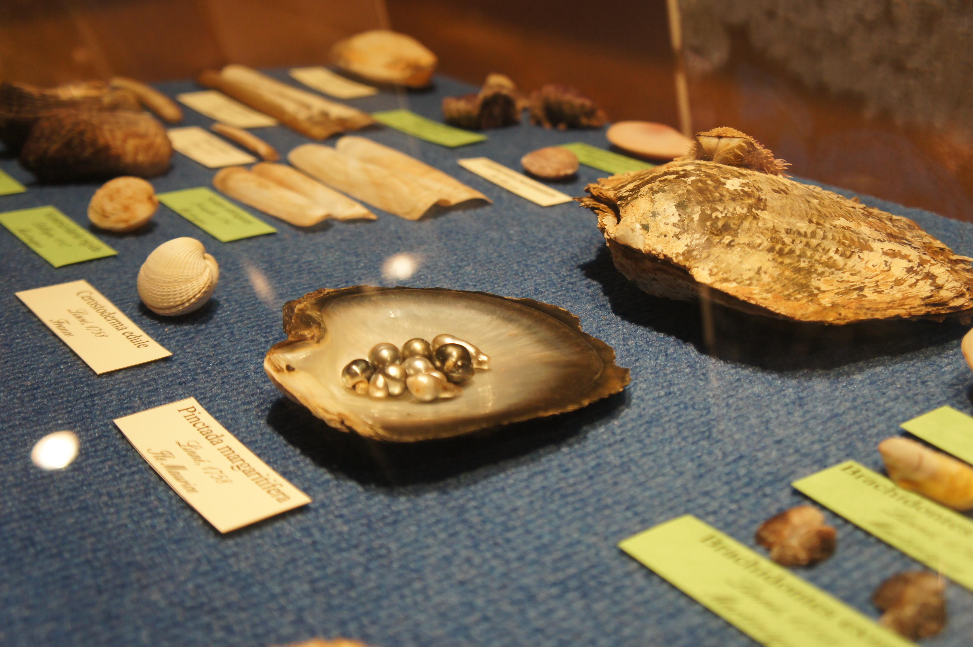 musée coquillage 4
