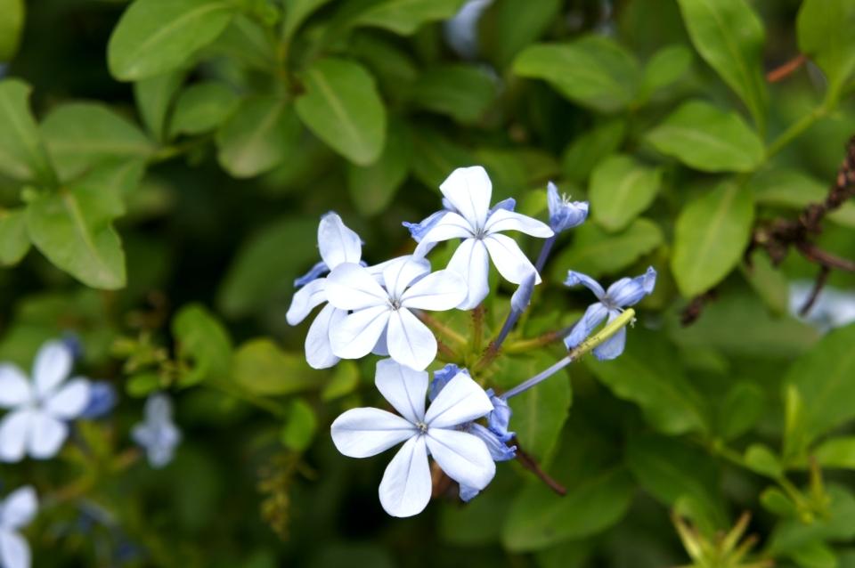 fleur depaz
