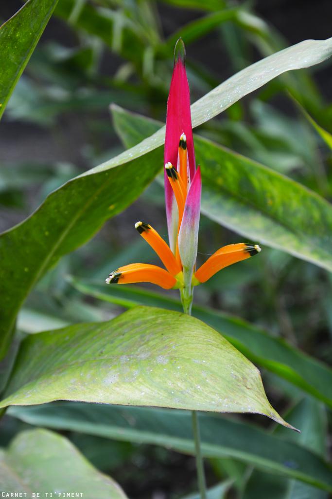 balata-fleur