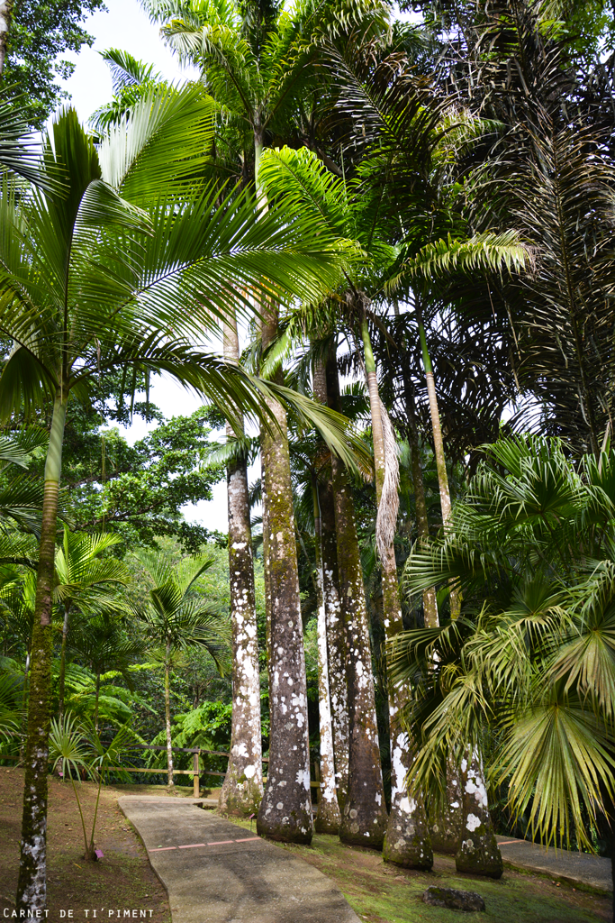 balata-palmier-géant