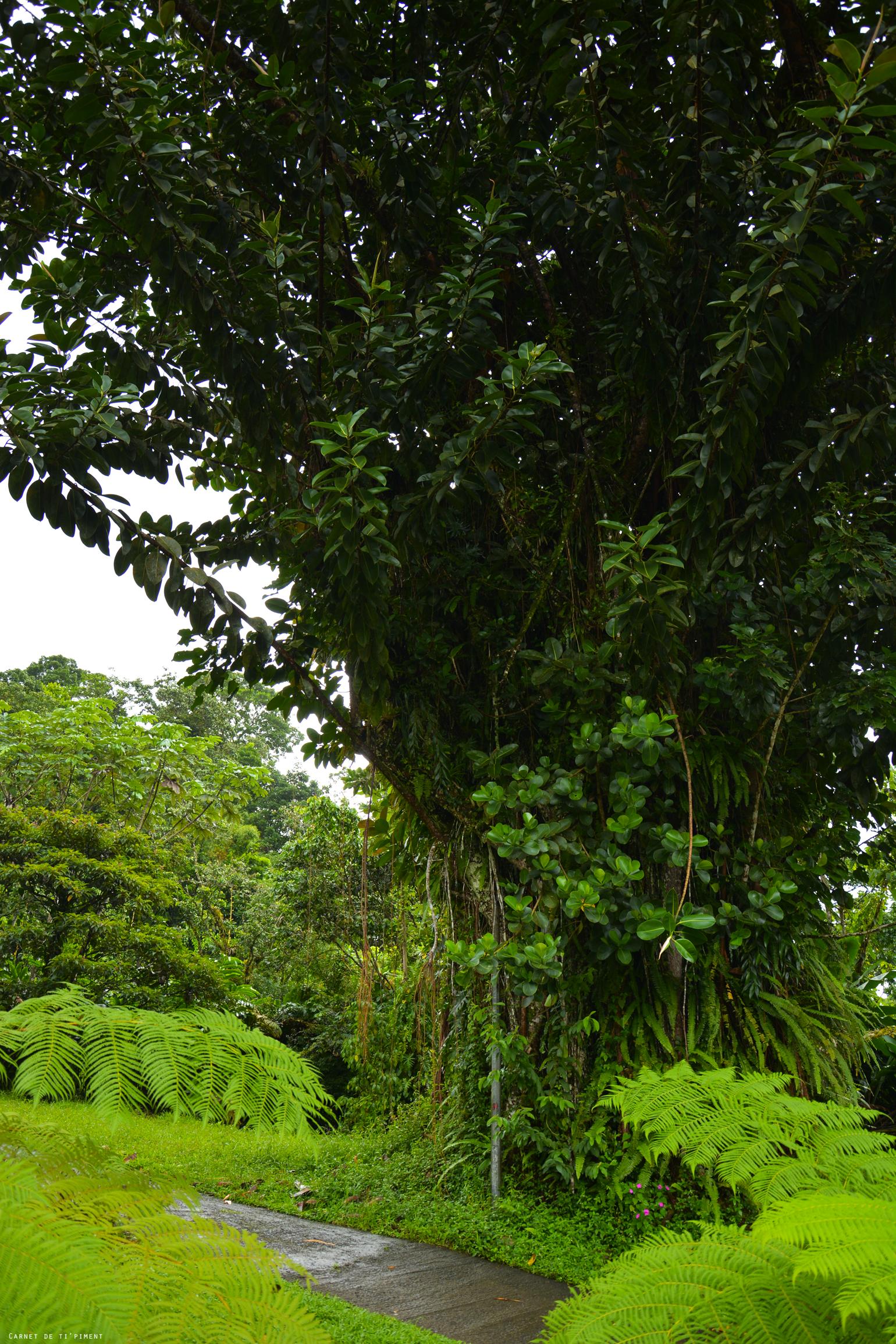 emeraude-arbre-géant