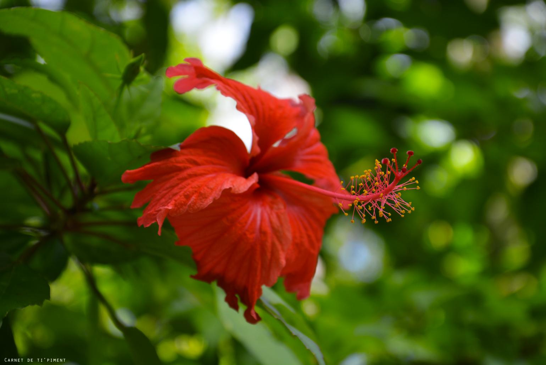 hibiscus-vatable